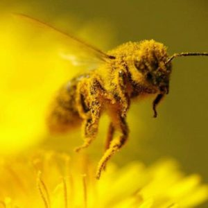 Buy Honey Bees for Delivery