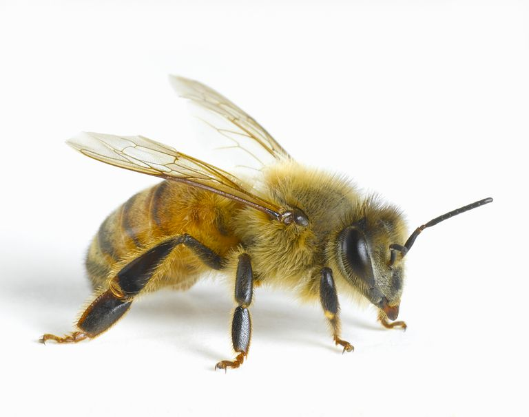 Italian Honey Bee - image from Don Farrall Getty Images