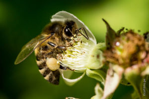 Caucasian Honey Bee - image from EcoFilms.ge
