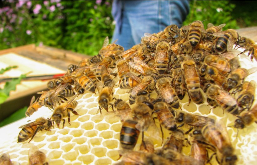 Bees moving across the comb they built.