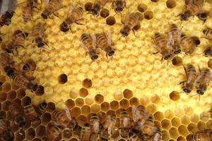https://www.beepods.com/wp-content/uploads/bees-comb-brood-larva.png