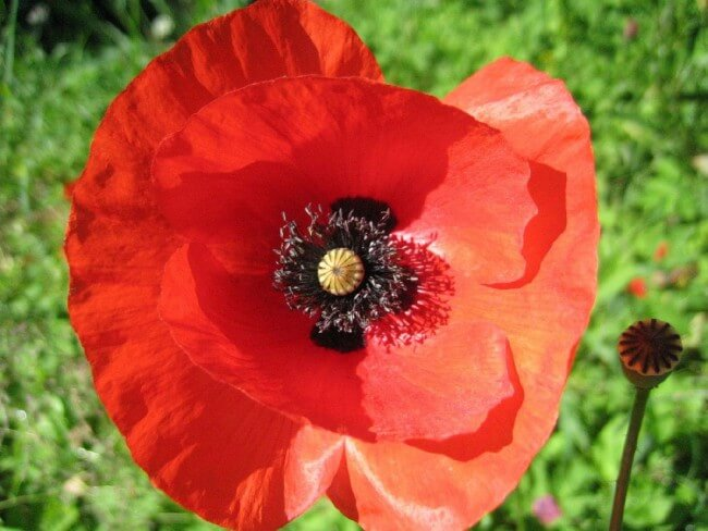 Red Corn Poppy Flower